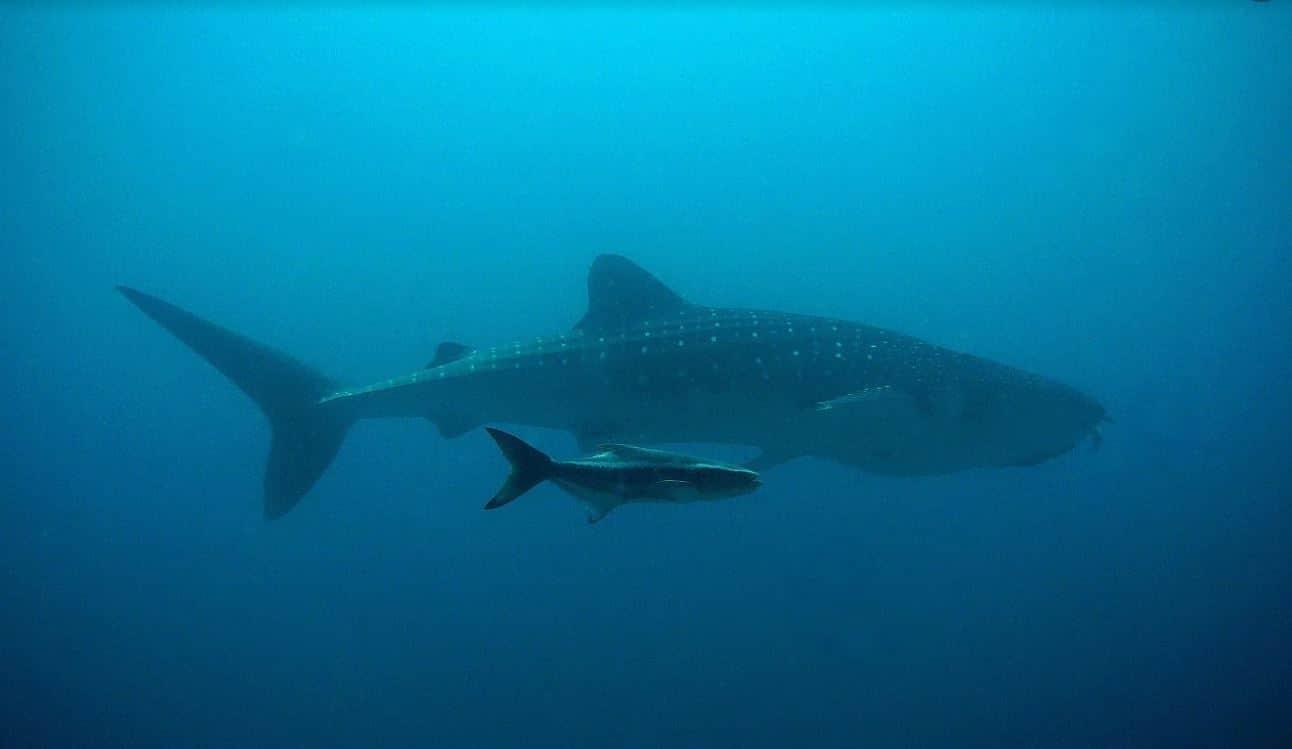 wha;e shark image from Pixabay
