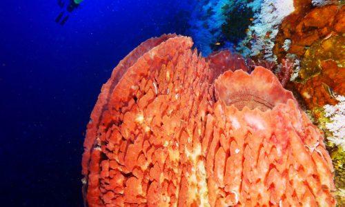 Barrel Sponges 1