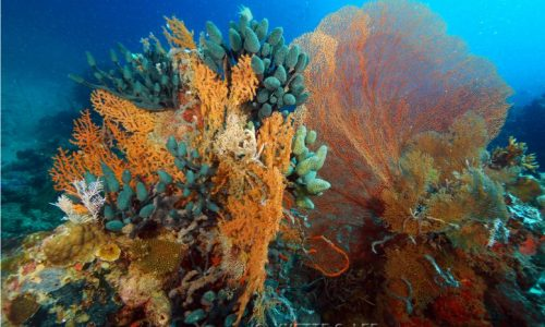 Calambuyan Lollipop Coral