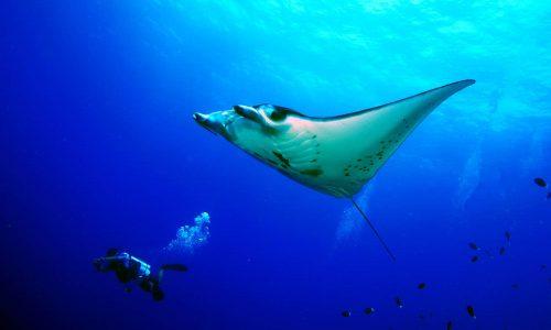 Diver with Manta