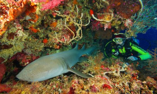 Diver with Sleeping Nurse Shark medium