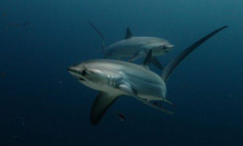 Thresher Shark Alex Stoyda