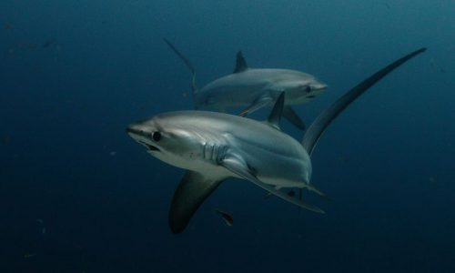 Thresher Shark Alex Stoyda