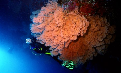 diver with sea fans