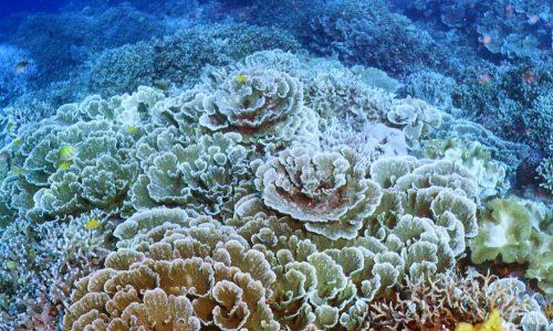 divere with lettuce corals