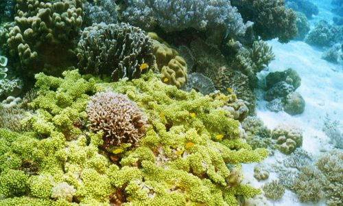 hard green corals