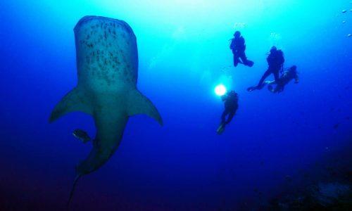 whaleshark alex